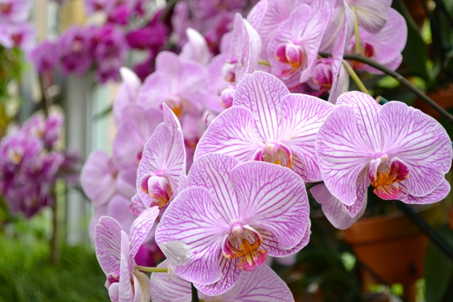Atlanta Botanical Garden: Orchids 6