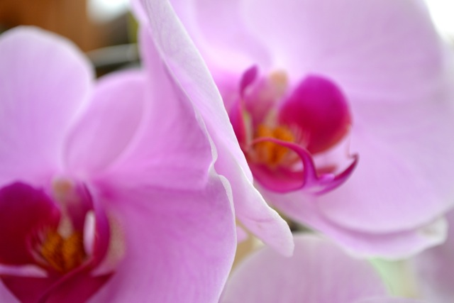 Atlanta Botanical Garden: Orchids