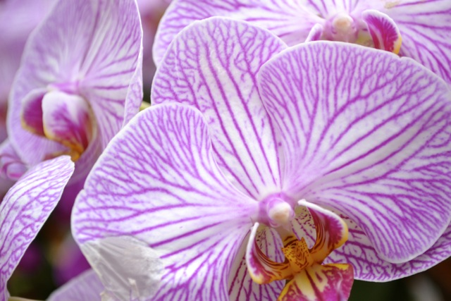 Atlanta Botanical Garden: Orchids 7